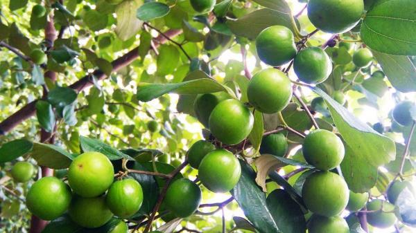 Chẳng phải tới miệt vườn miền Tây, ngay tại Hà Nội cũng có vườn táo như rừng, ăn thả ga mà chỉ có 10k