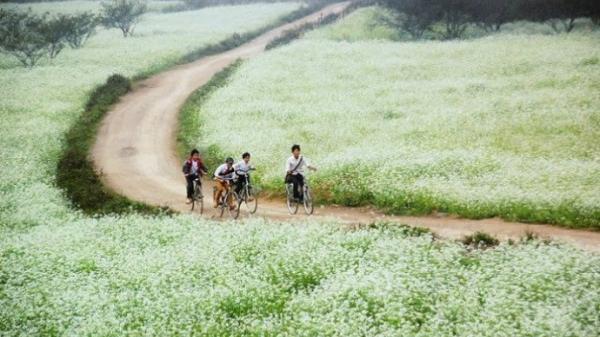 """Ngay gần Hòa Bình có một """"thiên đường"""" hoa cải trắng đẹp quên lối về"""