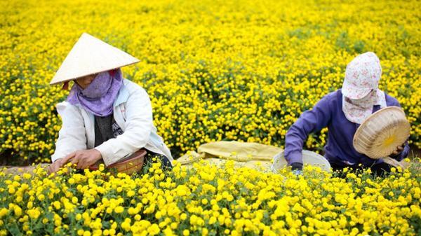 """Ngắm cánh đồng hoa cúc """"tiến vua"""" ở thôn Nghĩa Trai (Hưng Yên) rực rỡ đón Tết"""