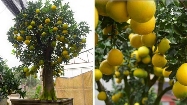 Ngắm cây bưởi 300 quả giá trăm triệu chờ khách chơi Tết ở Hưng Yên