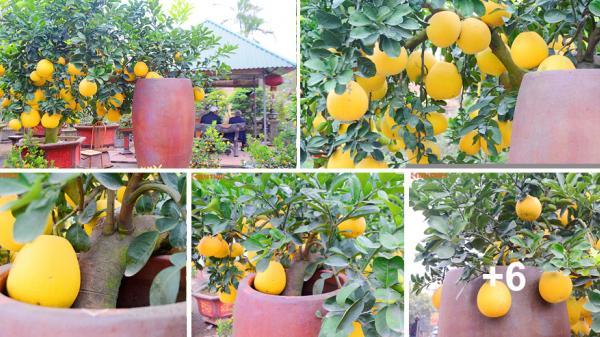 Mãn nhãn với cây bưởi cảnh trong chum vẫn sai trĩu trịt quả từ gốc đến ngọn ở Hưng Yên