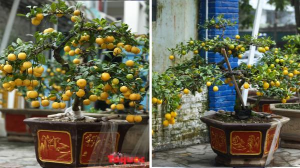 Mãn nhãn ngắm chanh vàng phú quý dáng bonsai giá 15 triệu đồng của ông chủ Hưng Yên để chơi Tết