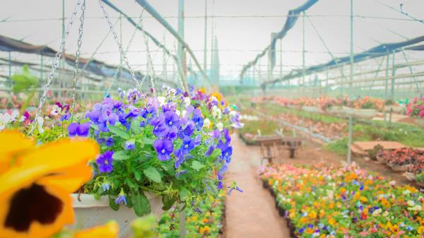 Đổi gió ở cánh đồng hoa Xuân Quanbạt ngàn, khoe màu sắc, rực rỡ đón xuân