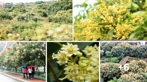 Về Hưng Yên ngắm mùa hoa nhãn nở vàng đẹp tựa tranh vẽ