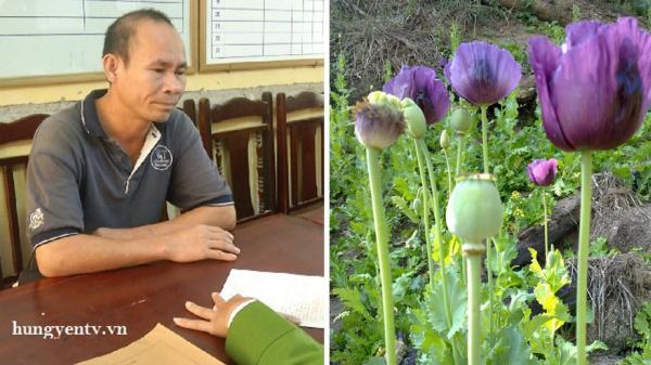 Ân Thi (Hưng Yên): Phát hiện một hộ trồng 15 cây thuốc phiện trong nhà