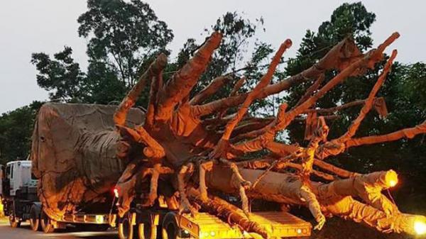 Vụ xe chở cây 'quái thú' trên QL1A: Có điểm dừng tại Ecopark Hưng Yên?