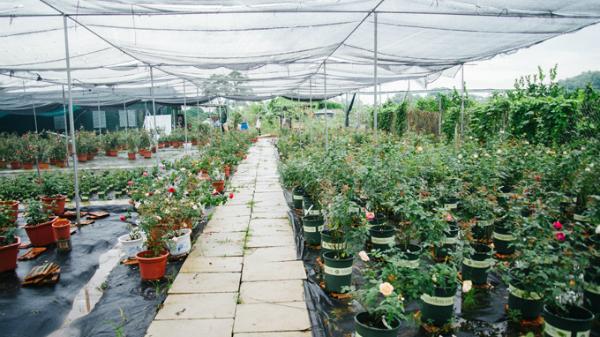 Vườn hoa hồng cổ trăm loại giữa lòng Hà Nội của cô chủ 9X quê Hưng Yên