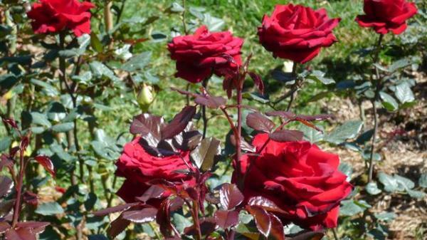 Ngây ngất với cánh đồng hoa hồng đẹp nhất Hưng Yên
