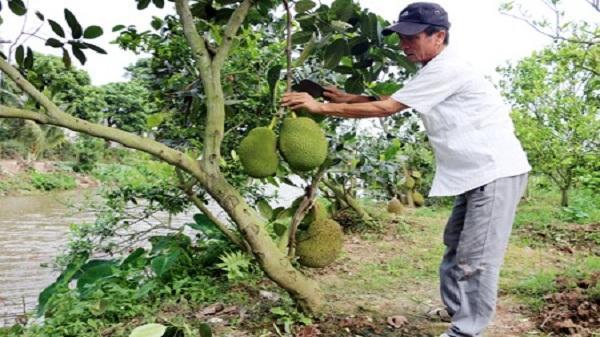 Triển vọng từ trồng mít Thái siêu sớm ở Hưng Yên