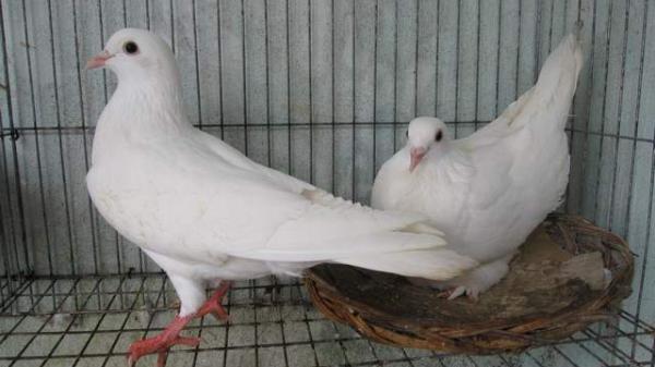 Anh nông dân Hưng Yên Đều mỗi tháng cho ra hơn 900 đôi bồ câu, lãi 30 triệu đồng/tháng