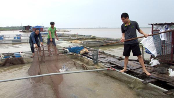 """Những cử nhân quê Nhãn Hưng Yên nuôi cá """"tiến Vua"""" trên sông Hồng"""