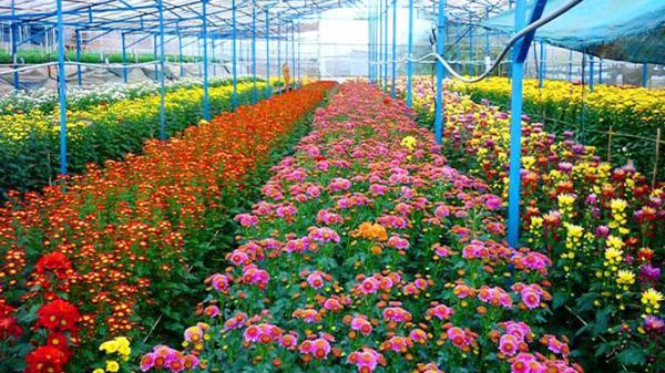 Nửa xã Xuân Quan (Văn Giang) trồng hoa, cây cảnh, thu lãi 50 triệu đồng mỗi sào