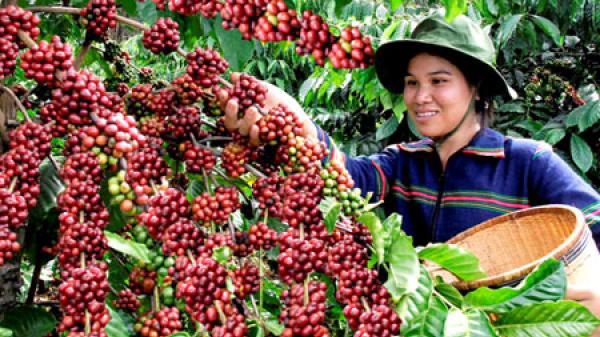 Giá cà phê hôm nay 4/5: Giá cà phê Tây Nguyên tăng 1.200 – 1.300 đồng