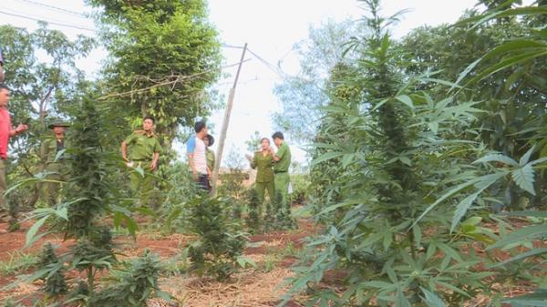 Tây Nguyên: Hai chị em ruột trồng hàng nghìn cây cần sa trong rẫy vắng