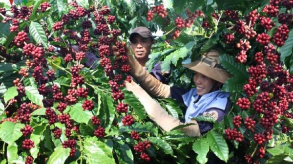 Giá cà phê hôm nay 15/5/2020: Vụt tăng đến 500 đồng/kg tại các tỉnh Tây Nguyên và Miền Nam