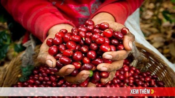 Giá cà phê hôm nay 23/6/2020: Phục hồi tăng 200 đồng/kg trên diện rộng