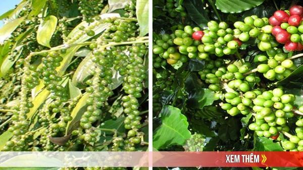Giá cà phê hôm nay 30/6 tăng mạnh, hồ tiêu trở lại mốc 50.000 đồng/kg