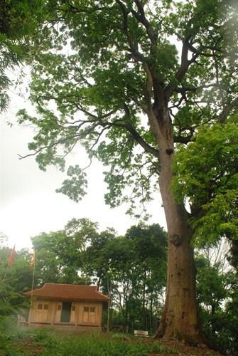 """""""Cụ"""" cây dáng thẳng, cao hơn 45m"""