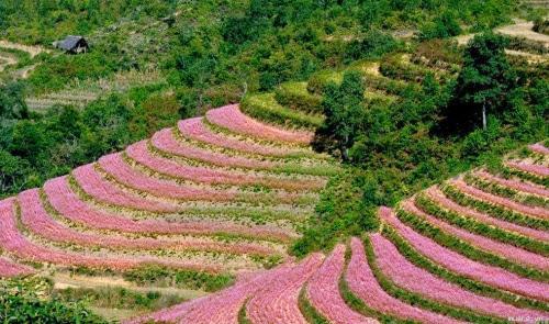 Những đồi hoa tam giác mạch đẹp đến thơ mộng ở Hà Giang. (Ảnh: internet)