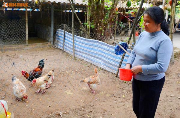 Chia sẻ với Kiến Thức, chủ trang trại gà Đông Tảo Quynh Thanh cho biết, hiện trang trại có khoảng 200 con gà Đông Tảo thuần chủng cung cấp cho thị trường dịp Tết Nguyên Đán 2018 tới.