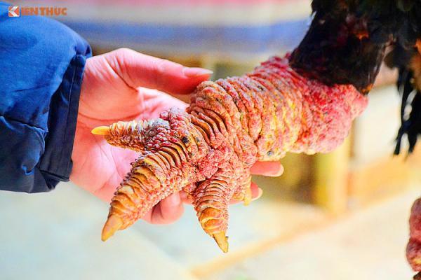 Chân gà Đông Tảo to, có nhiều vảy thịt, cụm đế và ngón cũng to, màu sắc hài hòa và đều...
