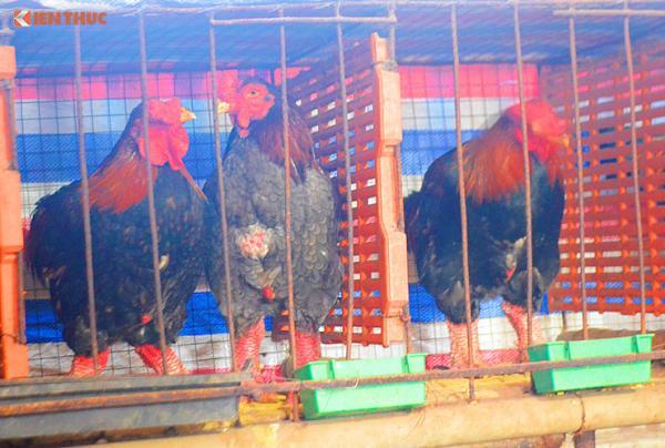 Còn đây là những con gà có giá từ 1,7 - 2,5 triệu đồng/con đã được khách hàng đặt mua để làm quà biếu, chờ gần Tết mới đến bắt.