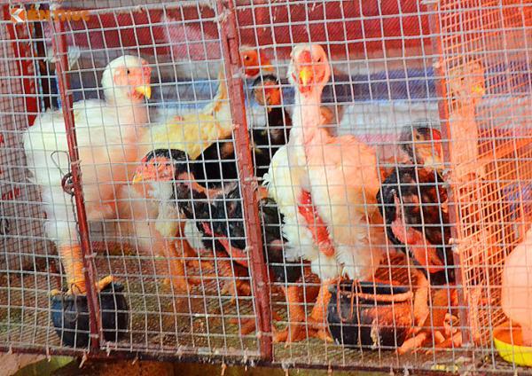 Cũng theo chủ trại gà Quynh Thanh, gà Đông Tảo có giá trị cao nhưng sức đề kháng lại thấp hơn so với gà thông thường. Do đó, người nuôi phải đầu tư rất nhiều công sức, kỹ thuật và thời gian, chỉ cần một thay đổi nhỏ từ thời tiết, gà có thể đổ bệnh hoặc chết rất nhanh.