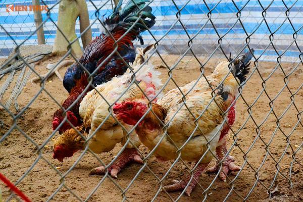 Theo chủ trang trại, hầu hết những khách hàng đặt gà Tết trước đều là khách quen, còn hàng ngày trang trại vẫn đón thêm nhiều khách lẻ cũng như các nhà hàng trong tỉnh và ngoại tỉnh đặt mua.