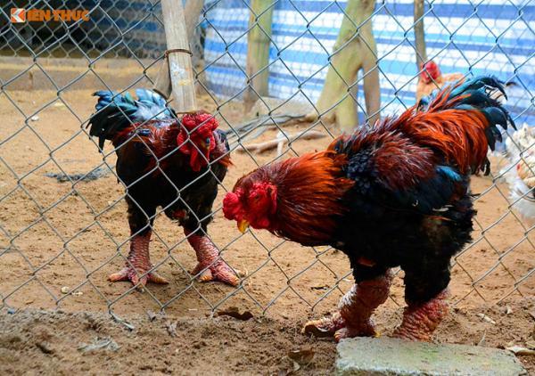 Với những con có hình dáng đẹp, chủ trang trại không bán theo cân nặng mà bán theo con với giá từ 1.7 - 3 triệu đồng/con.