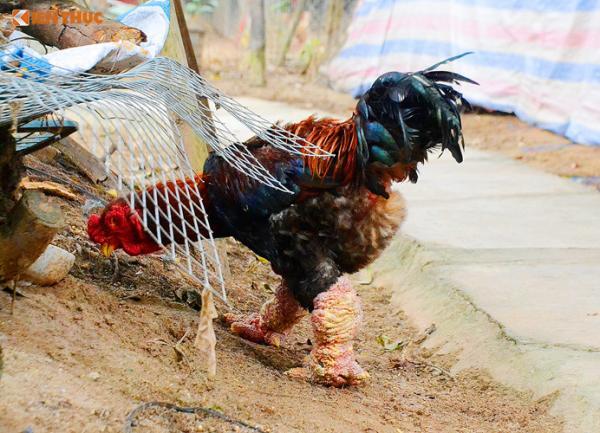 Một số con được giá, chủ trại gà bán 4 - 5 triệu đồng/con cho khách làm quà biếu dịp Tết.