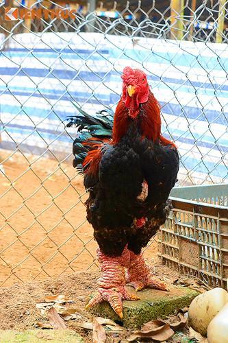Một con gà Đông Tảo thuần chủng, loại chân sần sùi được chủ trại gà Quynh Thanh bán với giá 3 triệu đồng.