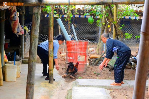 Chủ trại gà Quynh Thanh cho biết, loại gà Đông Tảo chân khủng được ưa chuộng khoảng vài năm về trước.